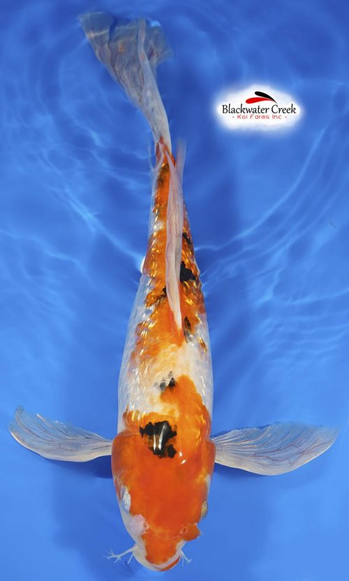 14″ Doitsu Butterfly Lemon Hariwake Koi Male – Koi Sales